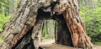 Drive-Through Redwoods Are Monuments to Violent Deforestation