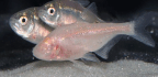 "Strange Eyeless Fish Creates Its Own Sonar Signals to ""See"""