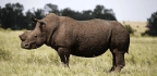 How a Corpse-Loving Fly Could Help Catch Rhino Poachers