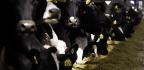 Scientists Create Transgenic Disease-Resistant Cows