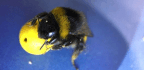 Watch Scientists Train Bees to Play With Tiny Soccer Balls