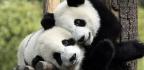 Pandas Have Cute Markings Because Their Food Supply Sucks