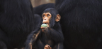 What Gave Some Primates Bigger Brains? A Fruit-Filled Diet