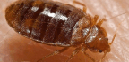 Even Our Ancient Ancestors Had to Deal With Bed Bugs