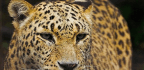 How a Kurdish Conservationist Is Protecting the Persian Leopard in War-Torn Iraq (Video)