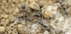Ants Perfected Farming 30 Million Years Ago in the Desert