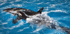 SeaWorld Welcomes Its Last Orca Born In Captivity