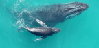Recordings Reveal Baby Humpback Whales 'Whisper' To Their Mothers