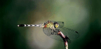 Female Dragonflies Feign Death to Avoid Sex