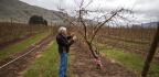 Washington Apple Growers Sink Their Teeth Into The New Cosmic Crisp
