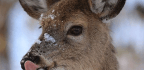 Forensic Scientists Caught a Deer Munching on a Human Carcass for the First Time Ever
