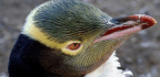 New Zealand's Yellow-Eyed Penguin Is Waddling Towards Extinction