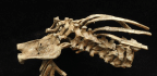 3.3 Million-Year-Old Fossil Sheds Light On How The Spine Evolved