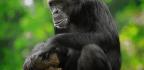 A Twist In Discussions Of Chimpanzee Spirituality