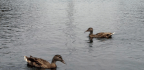Park Service To Drain Lincoln Memorial Reflecting Pool After 80 Ducks Die
