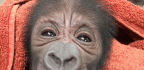How a Philly Ob-Gyn Ended Up Delivering a Baby Gorilla