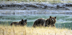 After 42 Years, Yellowstone Grizzly Will Be Taken Off Endangered Species List