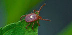 The Lone Star Tick Can Make You Allergic to Meat, and That's Not Even the Worst of It