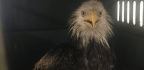 Rescued D.C. Eagle Is Likely Celeb Birdie Grounded By Storm