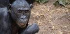Bonobo Ladies Get to Choose Their Mates and Boy Oh Boy Are They Picky