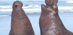 Elephant Seals Can Recognize Rhythm And Pitch