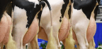 Could Cows Be the Vaccine Factories of the Future?