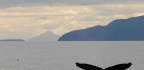 Humpback Whales Remix Their Old Songs