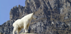 Olympic National Park Targeting Mountain Goats For Removal