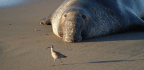 Elephant Seals Hate Fights as Much as You Do—Rhythm Is Their Best Defense