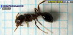 Japan Reacts With Alarm to Venomous Fire Ant Invasion