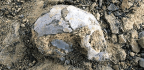 Ancient Skull Fossil Hints at Our Ape Ancestry