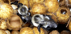 Popular Pesticides Keep Bumblebees From Laying Eggs