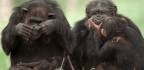 Can Humans Understand Chimps?