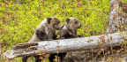 British Columbia Will Ban Grizzly Bear Trophy Hunting