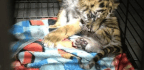 Calif. Teen Accused of Trying to Smuggle Tiger Cub Into US From Mexico