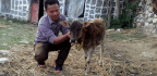 The Population of Nepal's Naumuthe Cow, One of the World's Smallest Cattle Breeds, Is Dwindling
