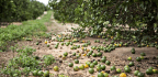 Florida's Farmers Look At Irma's Damage
