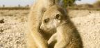 Stressed Meerkats Aren't as Helpful