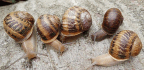Jeremy, The Lonely, Left-Twisting Snail, Dies — But Knows Love Before The End
