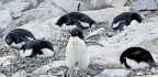 Penguins May Not Be the Best Way to Track Ocean Health