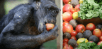 Watch The Moment A Dying Chimpanzee Recognizes An Old Friend