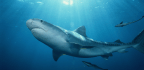 What We Can Learn From the Man Who Swam Five Miles With a Tiger Shark | Philip Hoare