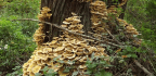The Secrets of the 'Humongous Fungus'
