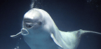 Beluga Moves in With Dolphins, Learns Their Language