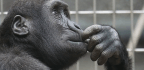 Chimps Can Gesticulate With the Best of Them