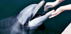 Swabbing Dolphin Mouths Reveals Bacterial 'Dark Matter'