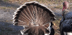 Most of Us Have Never Eaten a Turkey Tail, and That Shows Just How Messed Up Our Food System Is