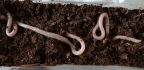 Earthworms Are Thriving in Martian(ish) Soil