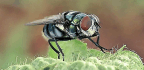 Bacteria Hitch Rides on Flies Like 'Airborne Shuttles'