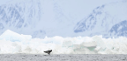 In The Face Of A Threat, Narwhals Respond In Just About The Worst Possible Way